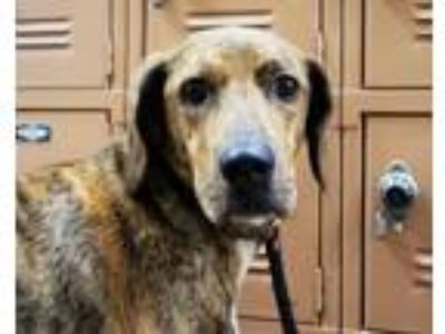 Adopt TANGLE a Labrador Retriever, Shar-Pei