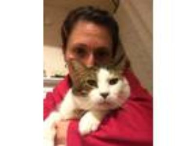 Adopt Scout a Brown Tabby American Shorthair / Mixed cat in Washington