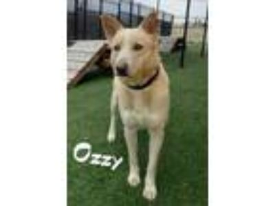 Adopt Ozzy a White Husky / American Pit Bull Terrier / Mixed dog in Lewisville
