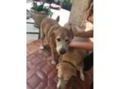 Adopt Gator a Yellow Labrador Retriever, Golden Retriever