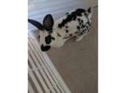 Adopt Domino a White Mini Rex / Mixed rabbit in Grand Rapids, MI (25657000)