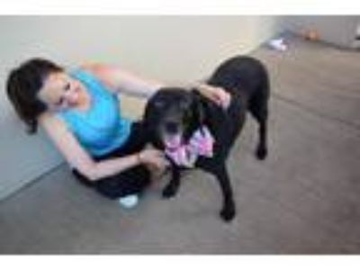 Adopt Waverly a Black Labrador Retriever / Mixed dog in McKinney, TX (25544662)