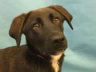 Adopt Amaya a Labrador Retriever, Mixed Breed