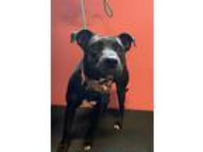 Adopt BECCI a Pit Bull Terrier, Mixed Breed