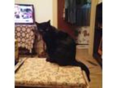 Adopt Felix a All Black American Shorthair cat in Buffalo, NY (25534028)