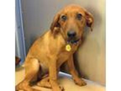 Adopt Rollie a Brown/Chocolate Beagle / Black Mouth Cur / Mixed dog in