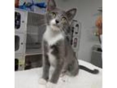 Adopt Marilyn a Gray or Blue Domestic Shorthair cat in Madisonville