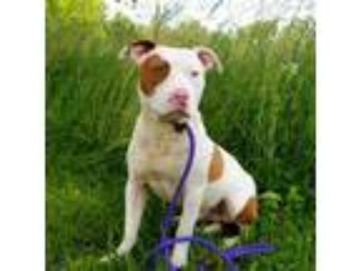 Adopt Manny a White - with Tan, Yellow or Fawn Pit Bull Terrier dog in