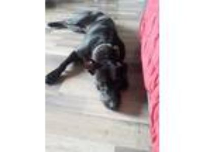 Adopt willow a Black Pointer / Pit Bull Terrier / Mixed dog in Hollywood