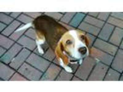 Adopt Hope a Black - with Tan, Yellow or Fawn Beagle / Hound (Unknown Type) /
