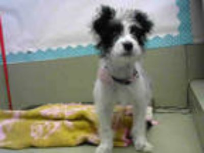 Adopt a Black - with White Terrier (Unknown Type, Medium) / Mixed dog in Moreno
