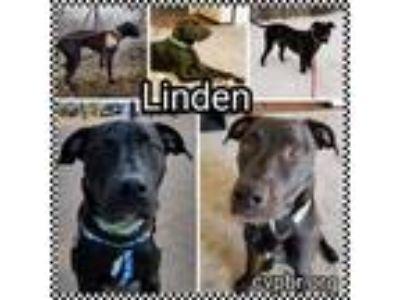 Adopt Linden a Black Labrador Retriever