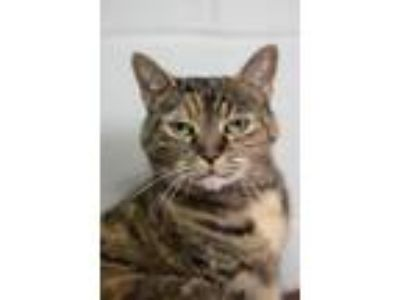 Adopt Daphne a Brown Tabby Persian / Mixed (short coat) cat in Stafford