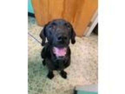Adopt Bella #9 a Black Labrador Retriever / Mixed dog in Annapolis