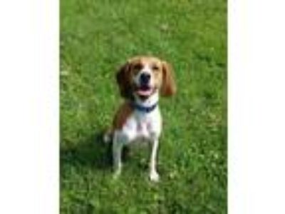 Adopt Victor a Red/Golden/Orange/Chestnut Beagle / Mixed dog in Fairfax