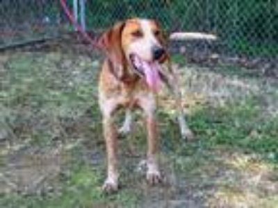 Adopt BING a Red/Golden/Orange/Chestnut - with White Bluetick Coonhound / Mixed