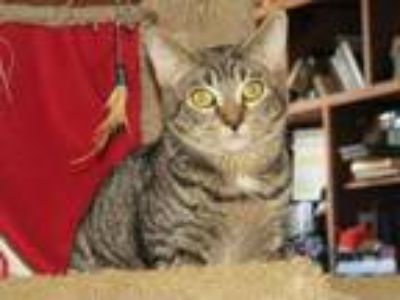 Adopt Minerva a Spotted Tabby/Leopard Spotted Domestic Shorthair / Mixed cat in