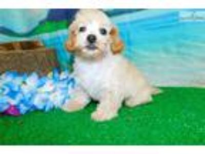 3/4 Toy Poodle. Nonshedding. Tiny. Financing.