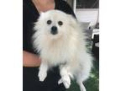 Adopt Rachel a White Pomeranian / Mixed dog in Temecula, CA (25311290)