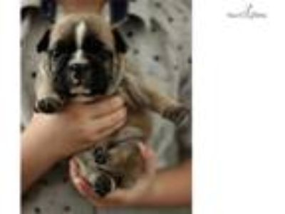 Padro (French Bulldog Puppy)