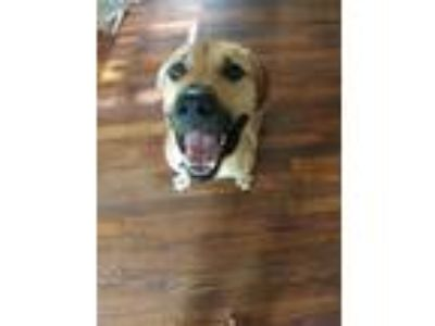 Adopt Leo a Tan/Yellow/Fawn - with White Mastiff / American Pit Bull Terrier /