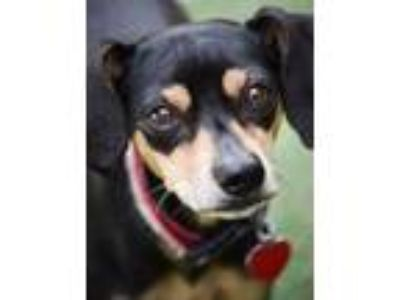 Adopt Hugo a Miniature Pinscher, Italian Greyhound
