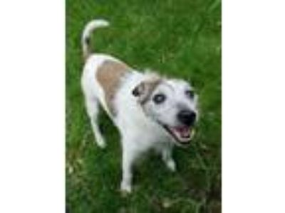 Adopt Bobber a Jack Russell Terrier
