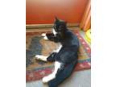 Adopt Ella a Domestic Short Hair