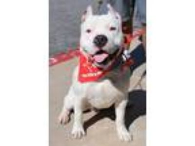 Adopt Oz a Dogo Argentino / Staffordshire Bull Terrier / Mixed dog in Lake