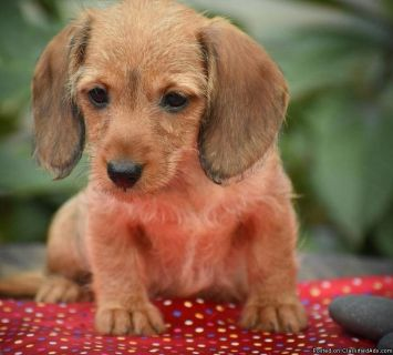 trgvsdf Dachshund Puppies Ready for sale
