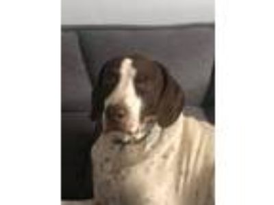 Adopt Butch (OKC) a German Shorthaired Pointer