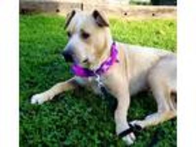 Adopt Cooper a Tan/Yellow/Fawn - with White American Staffordshire Terrier /