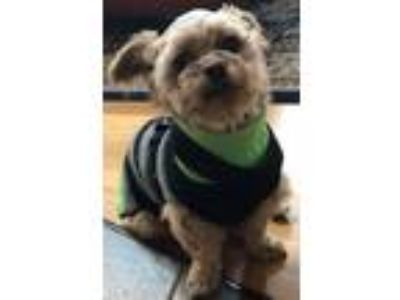 Adopt Hazel in RI $299 a Yorkshire Terrier