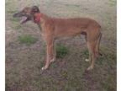 Adopt REBLE a Greyhound