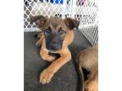 Adopt Shepherd puppies - Available May 19th! a Tan/Yellow/Fawn - with Black