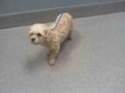 Adopt PRINCESS a White Poodle (Miniature) / Mixed dog in Las Vegas