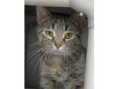 Adopt Millie a Domestic Short Hair, Torbie