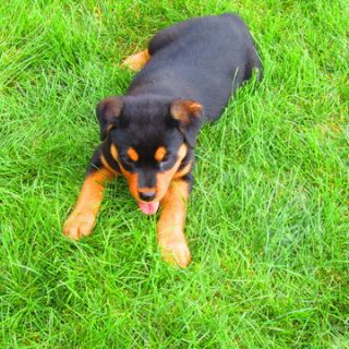 Rottweiler PUPPY FOR SALE ADN-97144 - Rottweiler Puppy