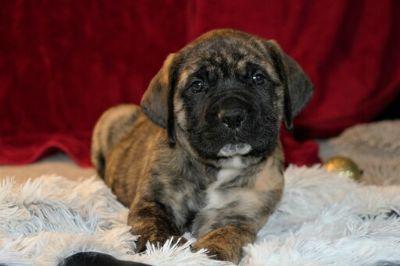 Mastiff PUPPY FOR SALE ADN-107944 - AKC English Mastiff