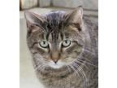 Adopt Oz a Domestic Shorthair / Mixed (short coat) cat in Crystal Lake