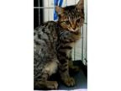 Adopt Mirage a Brown Tabby Domestic Shorthair (medium coat) cat in Lake Mary