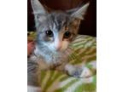 Adopt Monkey a Domestic Short Hair