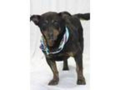 Adopt Jester a Black Basset Hound / Shepherd (Unknown Type) / Mixed dog in