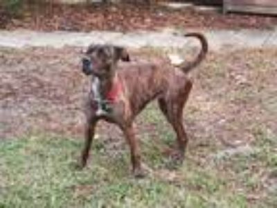 Adopt Hazel a Brindle American Pit Bull Terrier / Mixed dog in Umatilla