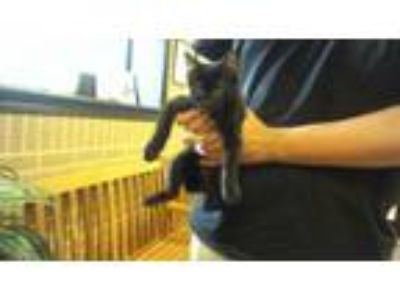 Adopt Geppetto a Domestic Short Hair