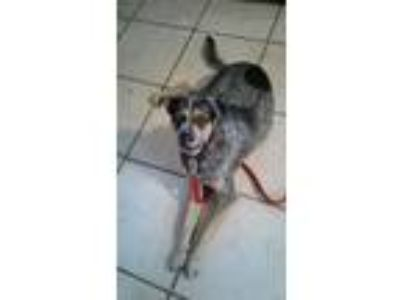 Adopt Spunky a German Shepherd Dog, Australian Cattle Dog / Blue Heeler