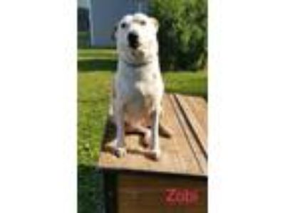 Adopt Zobi a White Catahoula Leopard Dog / Mixed dog in Mohawk, NY (22691177)