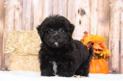 Poodle (Toy)-Yorkshire Terrier Mix PUPPY FOR SALE ADN-98813 - Karma Perfect Female Yorkie Poo Puppy