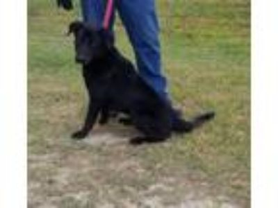 Adopt HENRY a Black Labrador Retriever / Mixed dog in Clinton, NC (25523863)