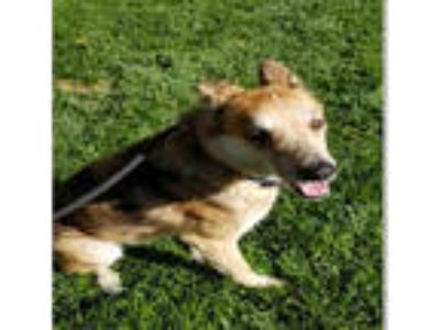 Adopt SHADOW a Tan/Yellow/Fawn - with Black German Shepherd Dog / Mixed dog in